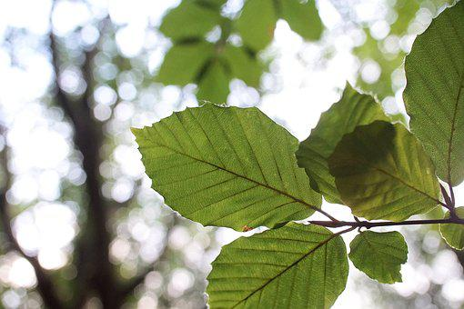 Leaf, Beech, Green, Close, Macro, Tree, Plant