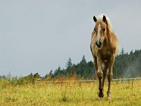 Haflinger, Foal, Pasture, Horses, Love For Animals