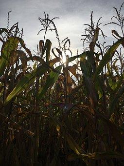 Autumn, Corn, Corn On The Cob, Harvest, Nature, Field