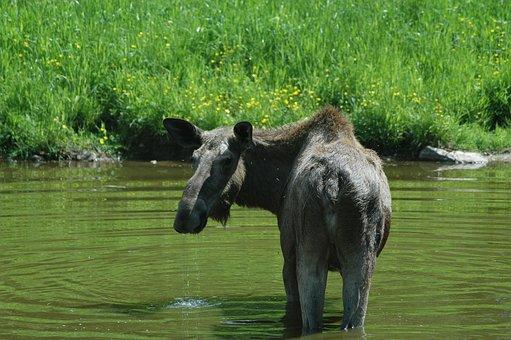 Moose 1, Sweden, Forest, Lake, Landscape
