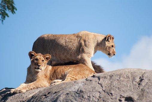 Lion, Lioness, Lions, Wild Animals