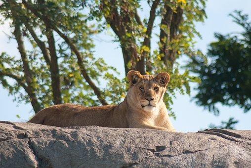 Lion, Lioness, Lions, Animals, Wildlife