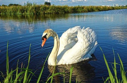 Bird, Water Bird, Waterfowl, Swan, Wildlife, Lake