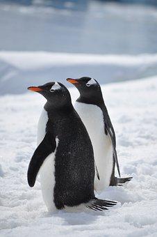 Penguins, Antarctica, Bird, South, Snow, Gentoo, Cold