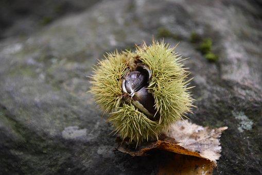 Autumn, Maroni, Sweet Chestnuts, Prickly