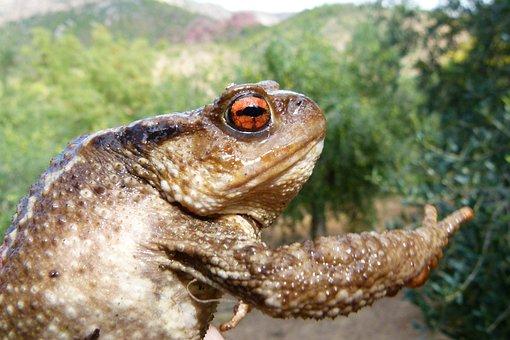 Toad, Bufo Bufo, Batrachian, Warts, Rough Skin
