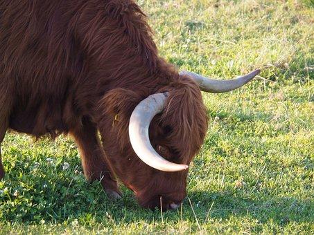 Beef, Calf, Highlands, Scottish Hochlandrind