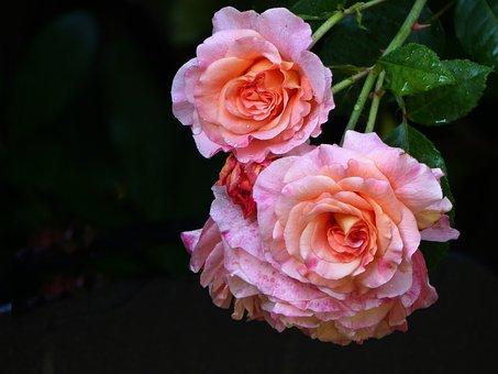 Rose, Flower, Blossom, Bloom, Pink, Nature, Rose Blooms