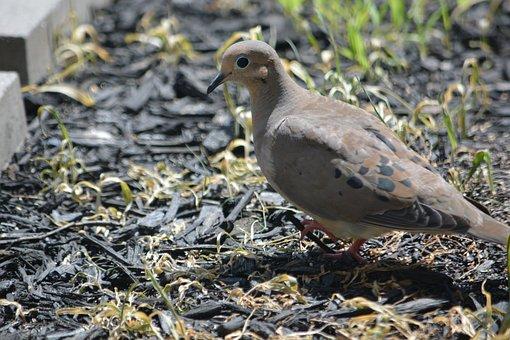 Mourning Dove, Bird, Dove, Nature, Animal, Wild