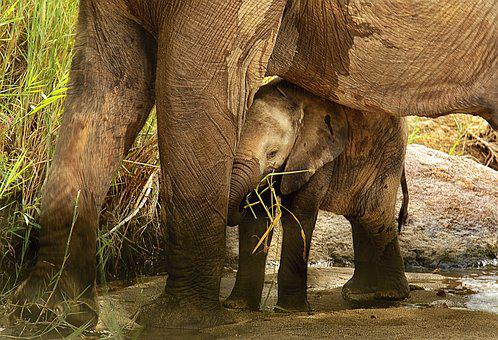 Elephant Calf, Sheltered, Protected, Secure, Bonding