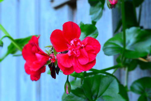Red Flower, Plant, Nature, Garden, Red, Contrast