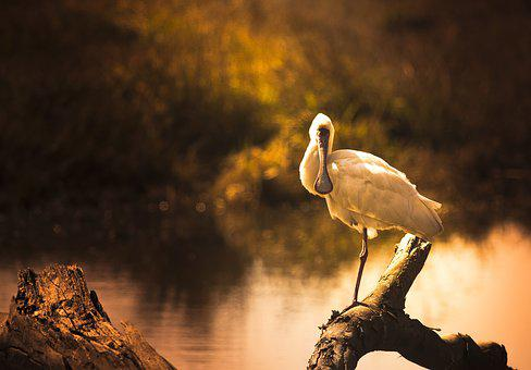 Golden, Light, Spoonbill, River, Shimmer, Dusk, Backlit