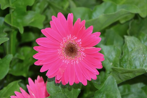 Pink Flower, Green Leaves, Nature, Massi, Plant