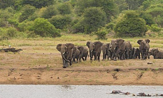 Elephant, Herd, Stampede, Riverbank, Large, Wildlife