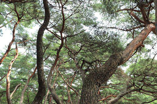 Pine, Tree, Pinetree, Pine Tree, Nature, Natural, Korea