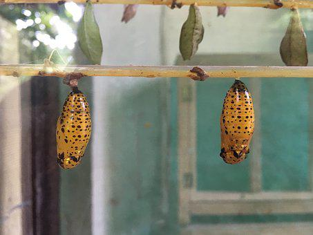 Larva, Butterfly, Nature, Wildlife, Biology, Chrysalis