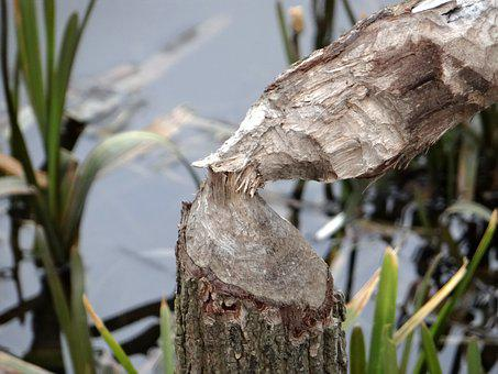 Beavers Work, Tree, Occlusion, Beavers, Tama, Nature