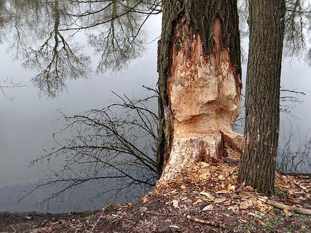 Beavers Work, Tree, Occlusion, Beavers, Tama, Nature