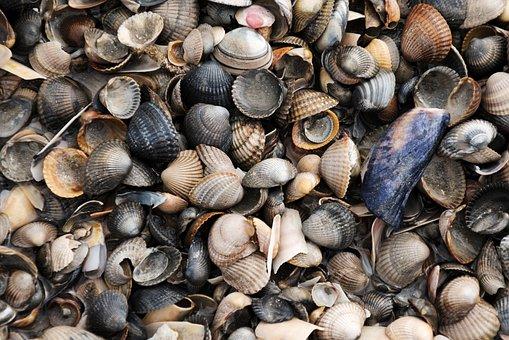 Mussels, Sea, North Sea, Mussel Shells
