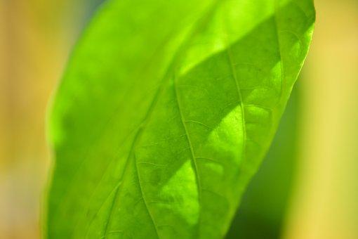 Leaf, Paprika, Food, Pepper, Cuisine, Cooking, Red