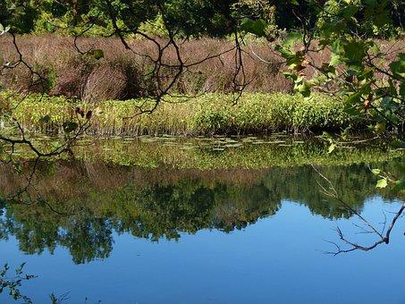 Lake, Loosestrife, Weeds, Plant, Summer, Lythrum, Pond