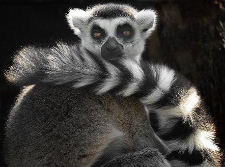 Ring Tailed Lemur, Black And White, Cute, Eyes, Animal