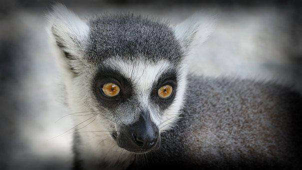 Zoo, Monkey, Ring Tailed Lemur