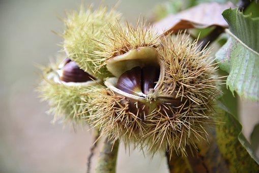 Autumn, Maroni, Sweet Chestnuts, Autumn Decoration