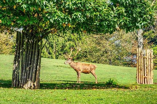 Hirsch, Deer Antler, Antler, Pasture, Tree, Green