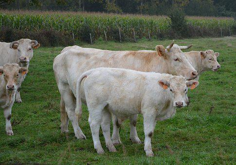 Cow, Veal, Herd, Cattle, Animals, Agriculture, Breeding