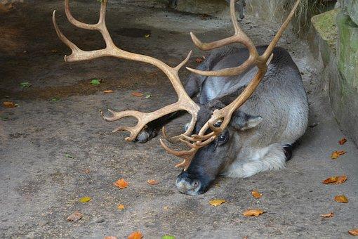 Hirsch, Antler, Wild Animal, Wilderness, Wildlife Park