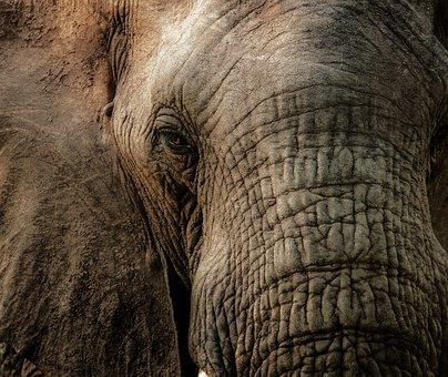 Elephant, Close, Trunk, Wrinkles, Eye, Animal, Tusk