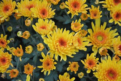Yellow Flowers, Yellow Chrysanthemums, Flowers Nature