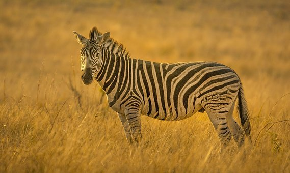 Zebra, Stripes, Golden, Light, Backlit, Texture, Skin