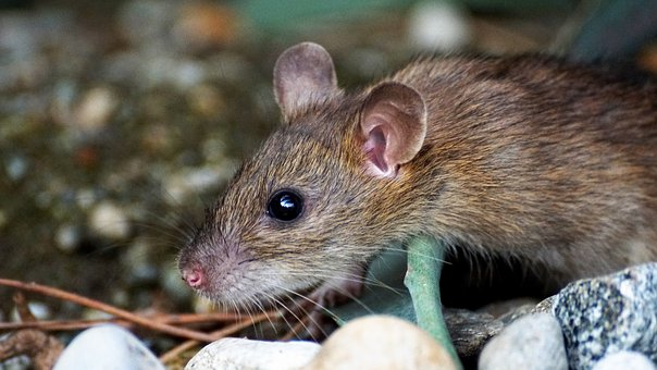 Mouse, Nager, Animal, Cute, Rodent, Brown, Nature