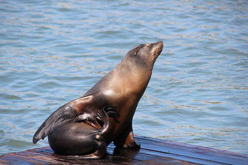 Seal, Animal, Ocean, Marine, Mammal, Nature, Pier