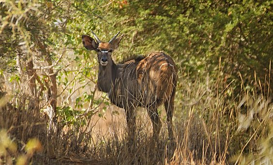 Nyala, Markings, Antelope, Wild Animal, Africa