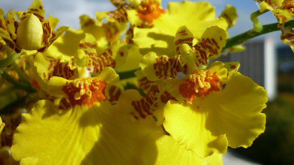 Oncidium, Flower, Yellow, Flowers, Close, Balcony