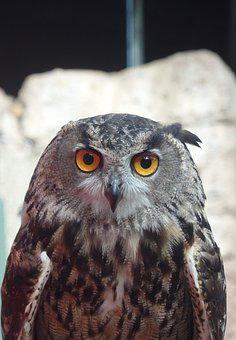 Owl, Bird, Nature, Eyes, Nocturne, Feathers