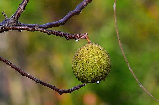 Black Walnut, Branch, Tree, Green, Walnut, Nature