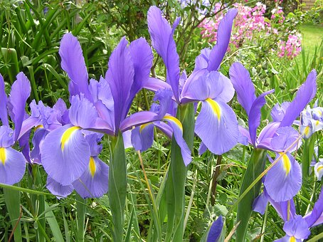 Iris, Dutch, Foliage, Bloom