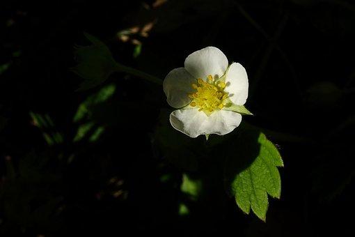 Blossom, Bloom, Strawberry, Close Up, Nature
