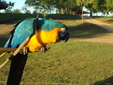Blue Macaw, Yellow Macaw, Animal, Tropical Birds