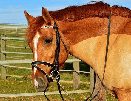 Horse, Brown, Coupling, Meadow, Gentle, Brown Horse