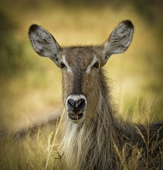 Waterbuck, Close Antelope, Wildlife, Close, Eyes