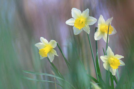 Daffodils, Yellow, Flower, Spring, Nature, Petal, Plant