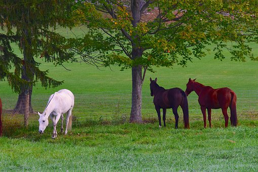Horses, Field, Grass, White Horse, Animal, Nature, Farm