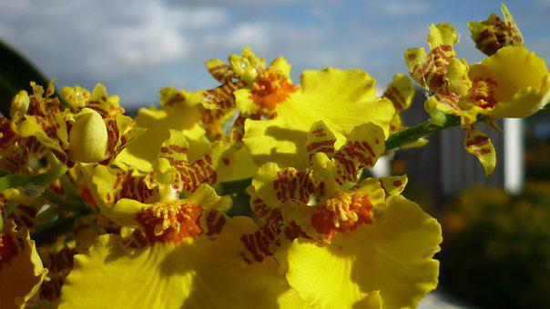 Oncidium, Flower, Orchid, Yellow, Inflorescence-panicle