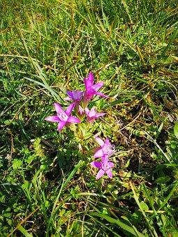 Mountain Flower, Alpine Flowers, Kind Of Gentian