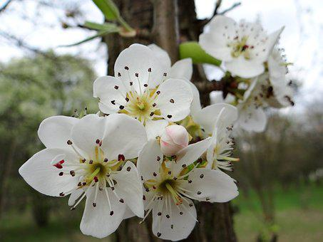 Flowering Fruit Trees, Spring, Sad, The Buds, Nature